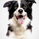 Border Collie - pawesome art